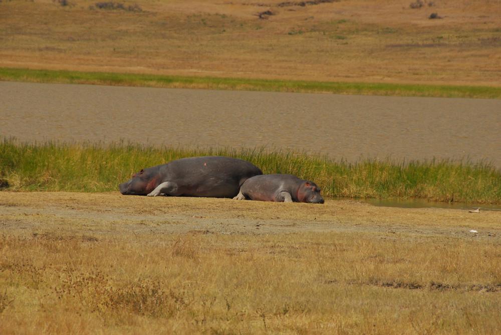 Hippos im Ngorongorokrater in Tansania