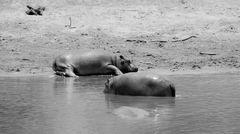 Hippos SW, kenia