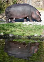 Hippospiegelung...