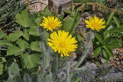 Hiracium villosum im Alpinum