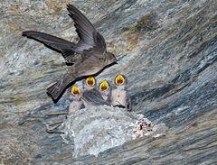 Hirondelle de rochers (Ptyonoprogne rupestris). (Photo 2)