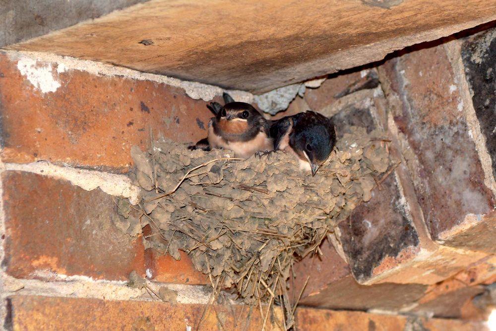 Hirondelles au nid