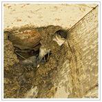 hirondelles dans son nid