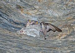 Hirondelles de rochers (Ptyonoprogne rupestris). (Photo 6)