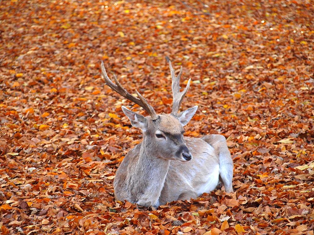 Hirsch im Blättermeer
