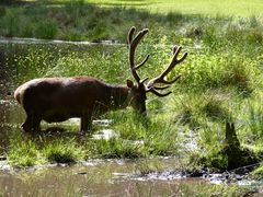 Hirsch im Spandauer Forst 2