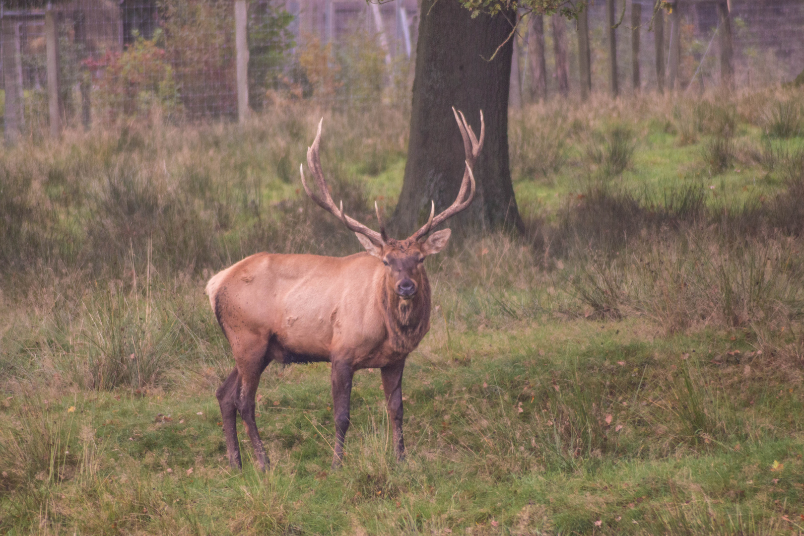 Hirsch im TIerpark Sababurg