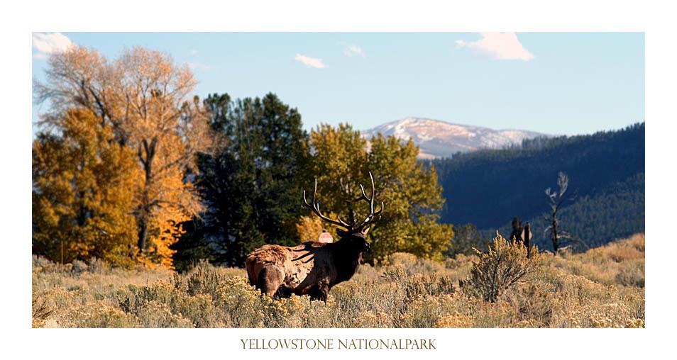 Hirsch im Yellowstone Nationalpark, USA