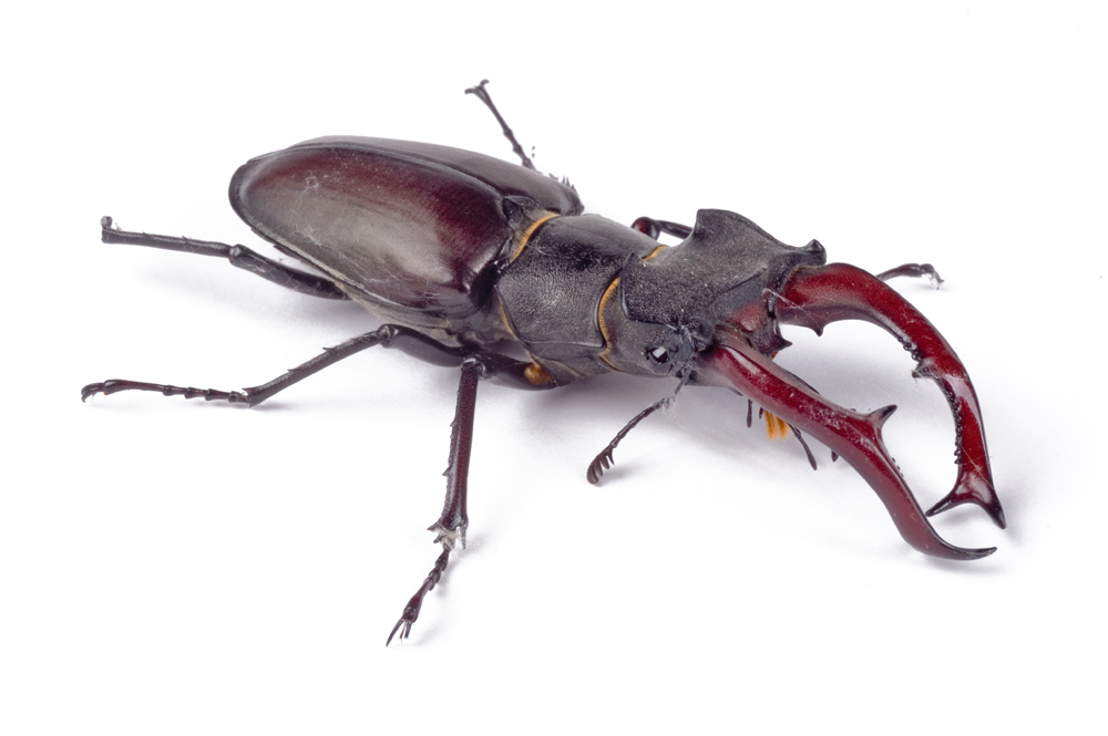 Hirsch-Käfer
