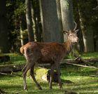Hirschbrunft Tierpark Rheinbollen