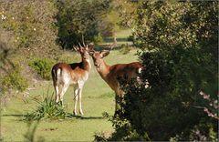 Hirsche auf Rhodos