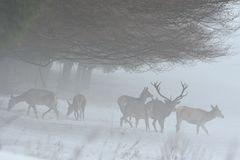 Hirsche im Nebel.....