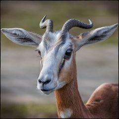 Hirschziegen-Antilope (Antilope cervicapra)
