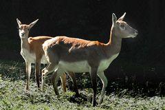 Hirschziegenantilopen (W) Zoo Neuwied