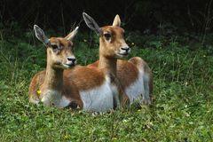 Hirschziegenantilopen (Weibchen) -Zoo Neuwied-