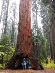 Historische Aufnahme - Der Pioneer Cabin Tree ...