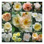 Historische Rosen ...
