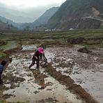 Hmong rice growers