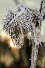 Hoarfrost on spear thistle (Cirsium vulgare) in the mornig backlight!