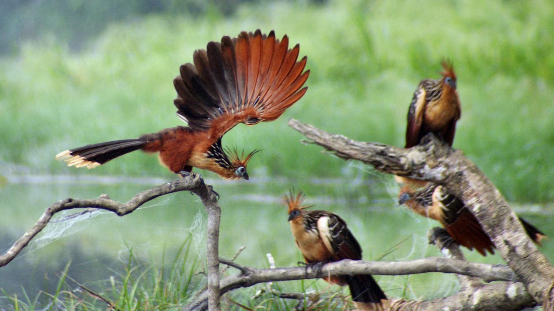 Hoatin-Stinkvögel