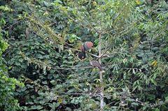 Hoatzins oder auch Stinkvögel am Rio Tambopata in Peru