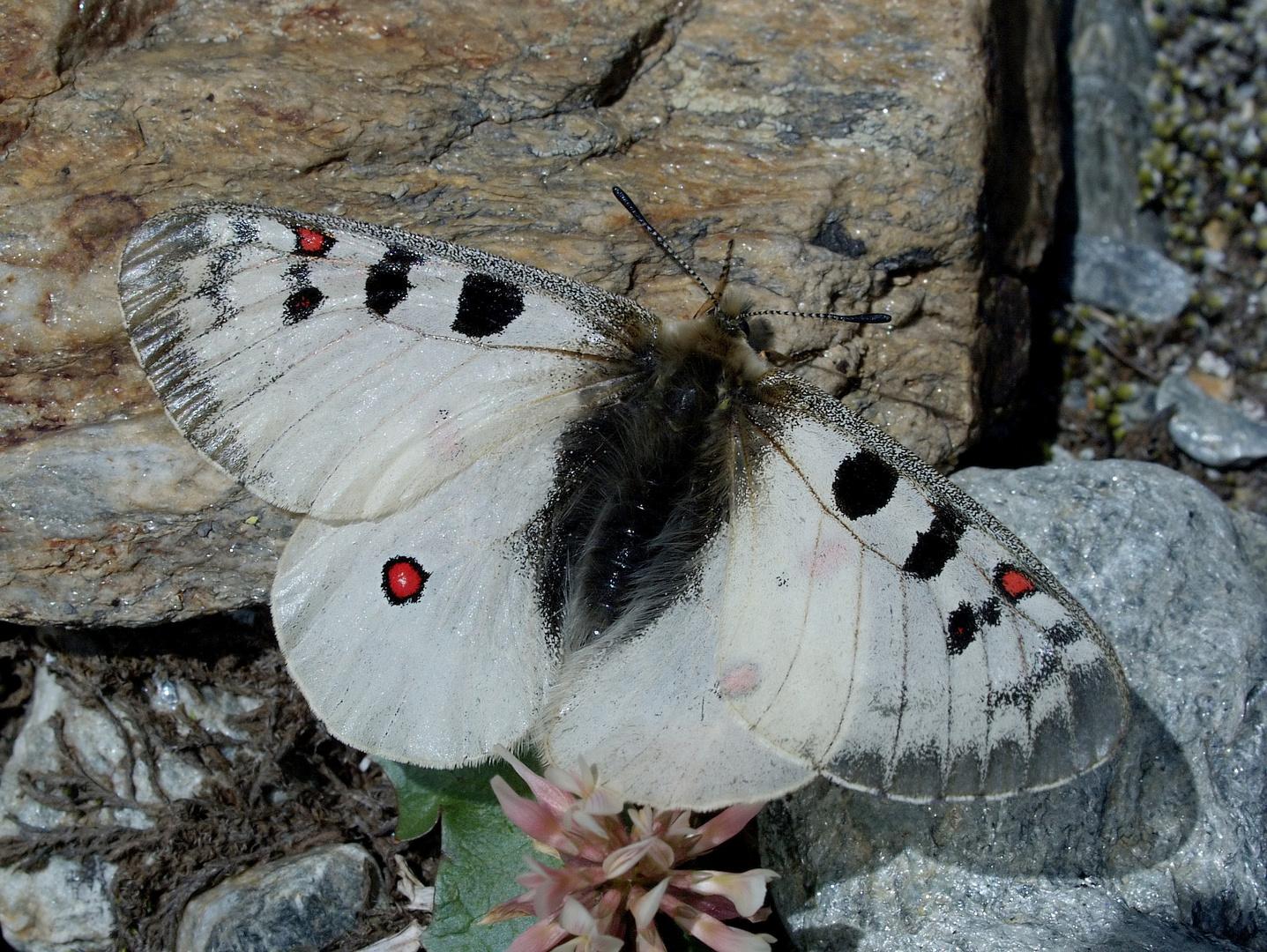 Hochalpen-Apollo: Parnassius phoebus