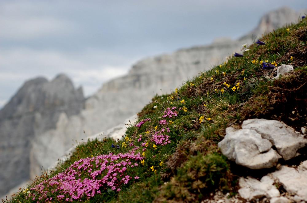 Hochalpin Blumen