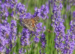 Hochbetrieb im Lavendel