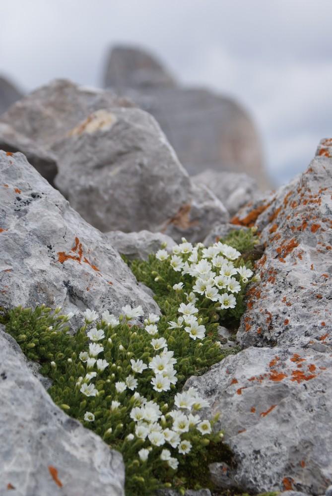 Hochgebirgsblümchen