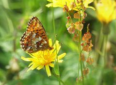 Hochmoor Perlmutterfalter für Peter Butterfly