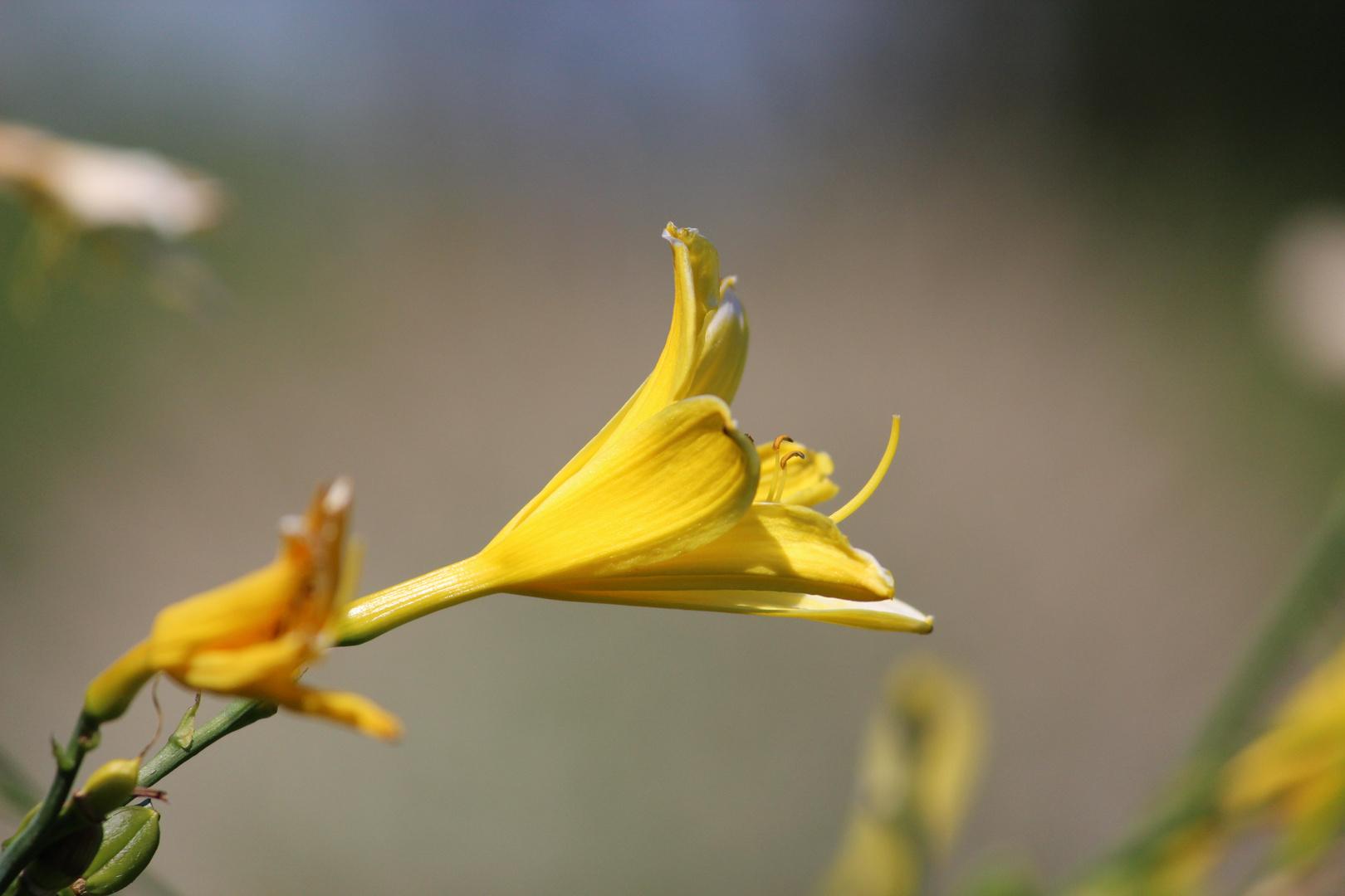 Hochmütige Lilienblüte