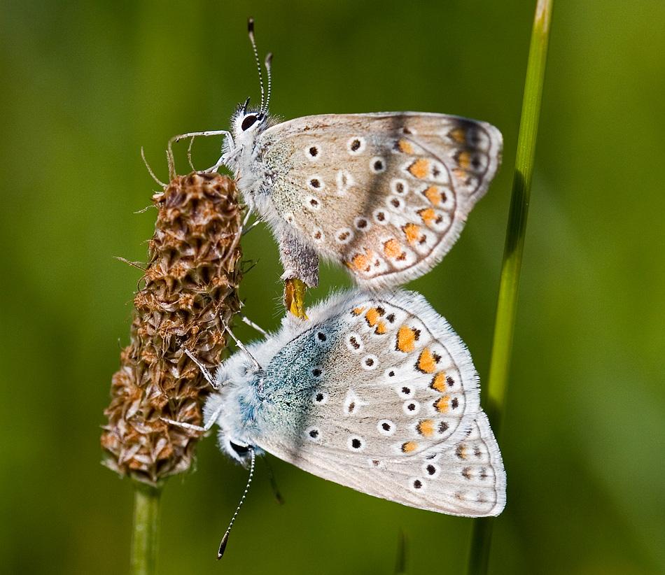 Hochzeit der Schmetterlinge