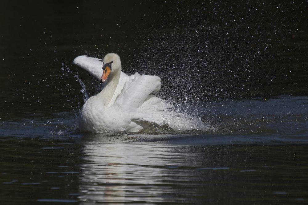 Höckerschwan beim  Badespass