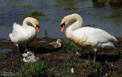 --- Höckerschwan-Familie ---