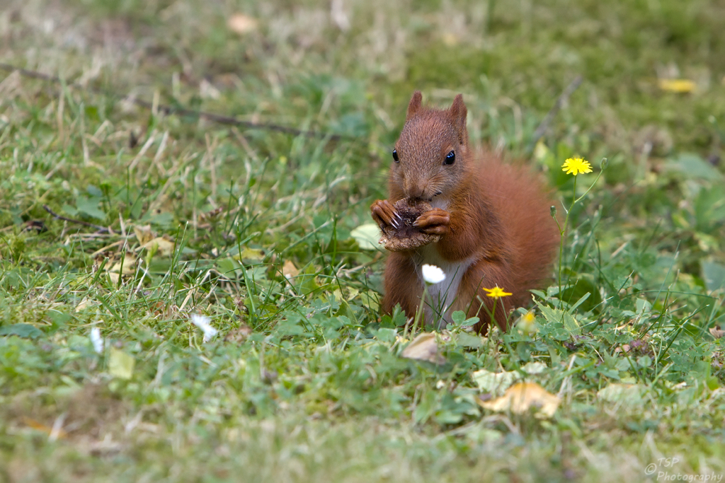 Hörnchen