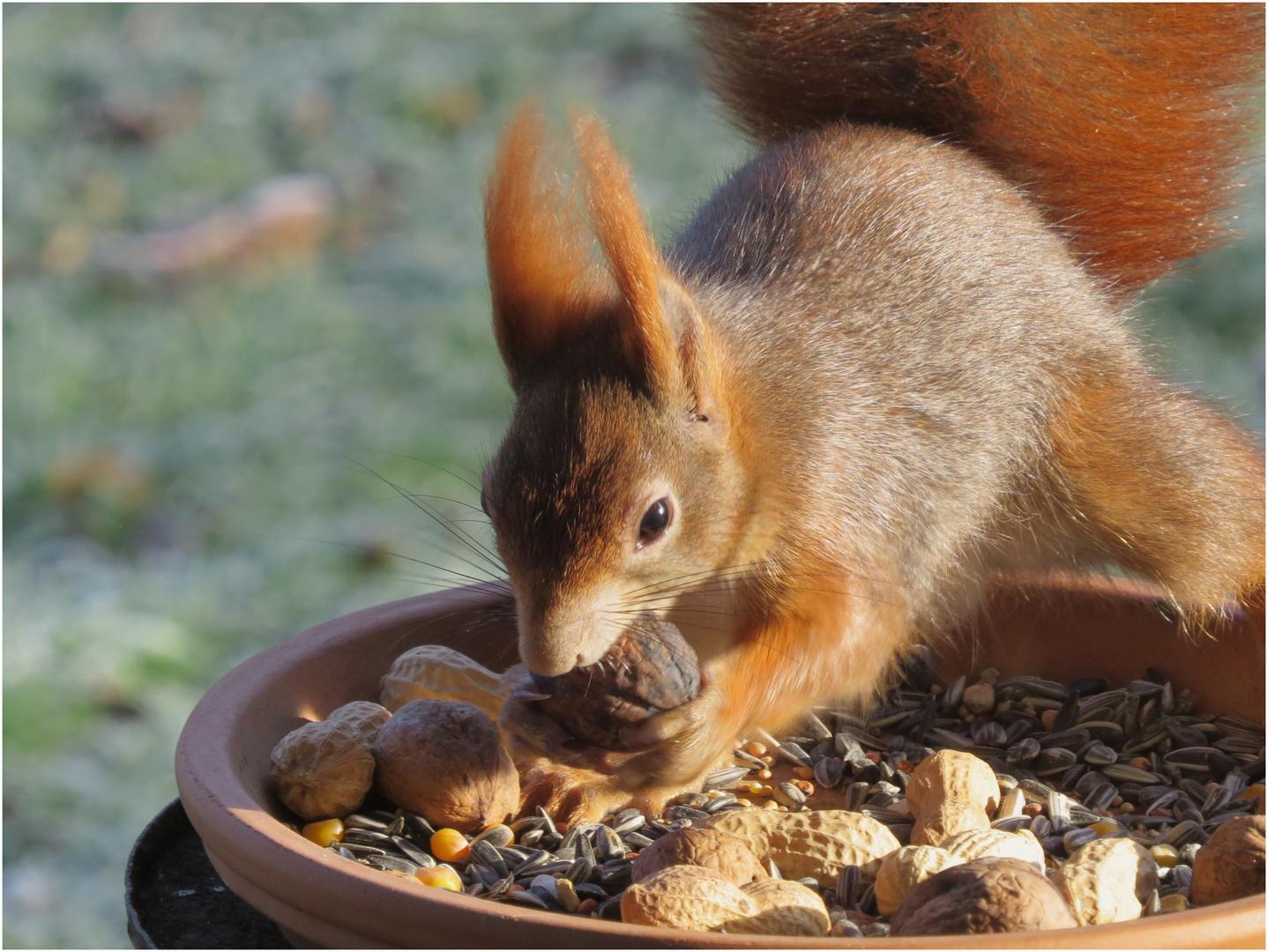 Hörnchen am Morgen