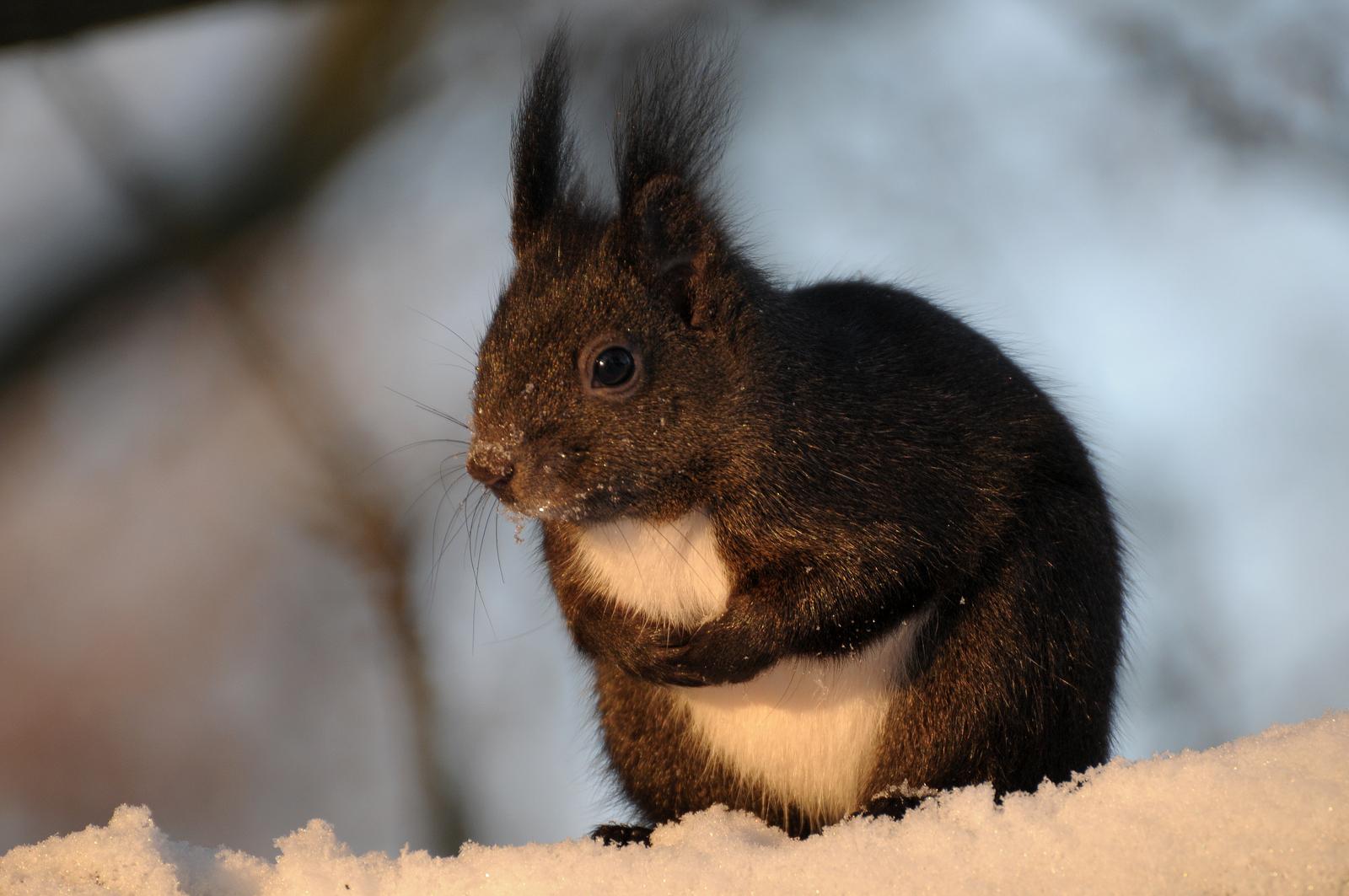 Hörnchen bei -15 °C