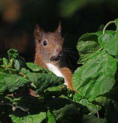 Hörnchen im Korkenzieherhasel