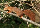 Hörnchen Schleicher