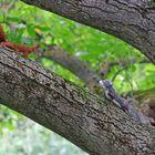 Hörnchen-Trio