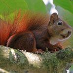 Hörnchen zum Sonntag