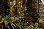 Hoh Rainforest - Olympic National Park - Washington State - USA