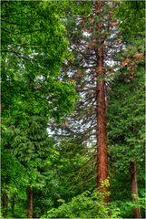Hohe Bäume am Heiligenberg in Jugenheim