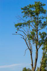 hoher Baum