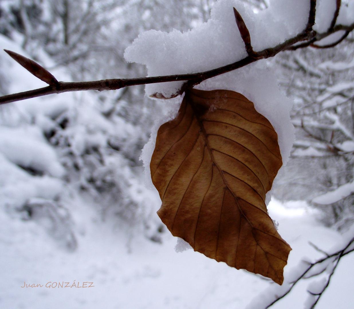 Hoja de haya con fondo nevado