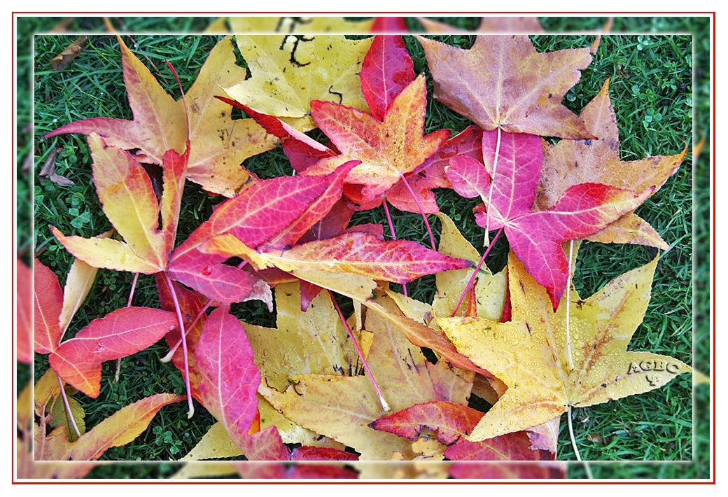 Hojas de Liquidambar caidas tipicas del otoño