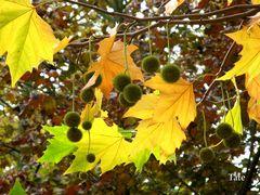 Hojas de otoño II