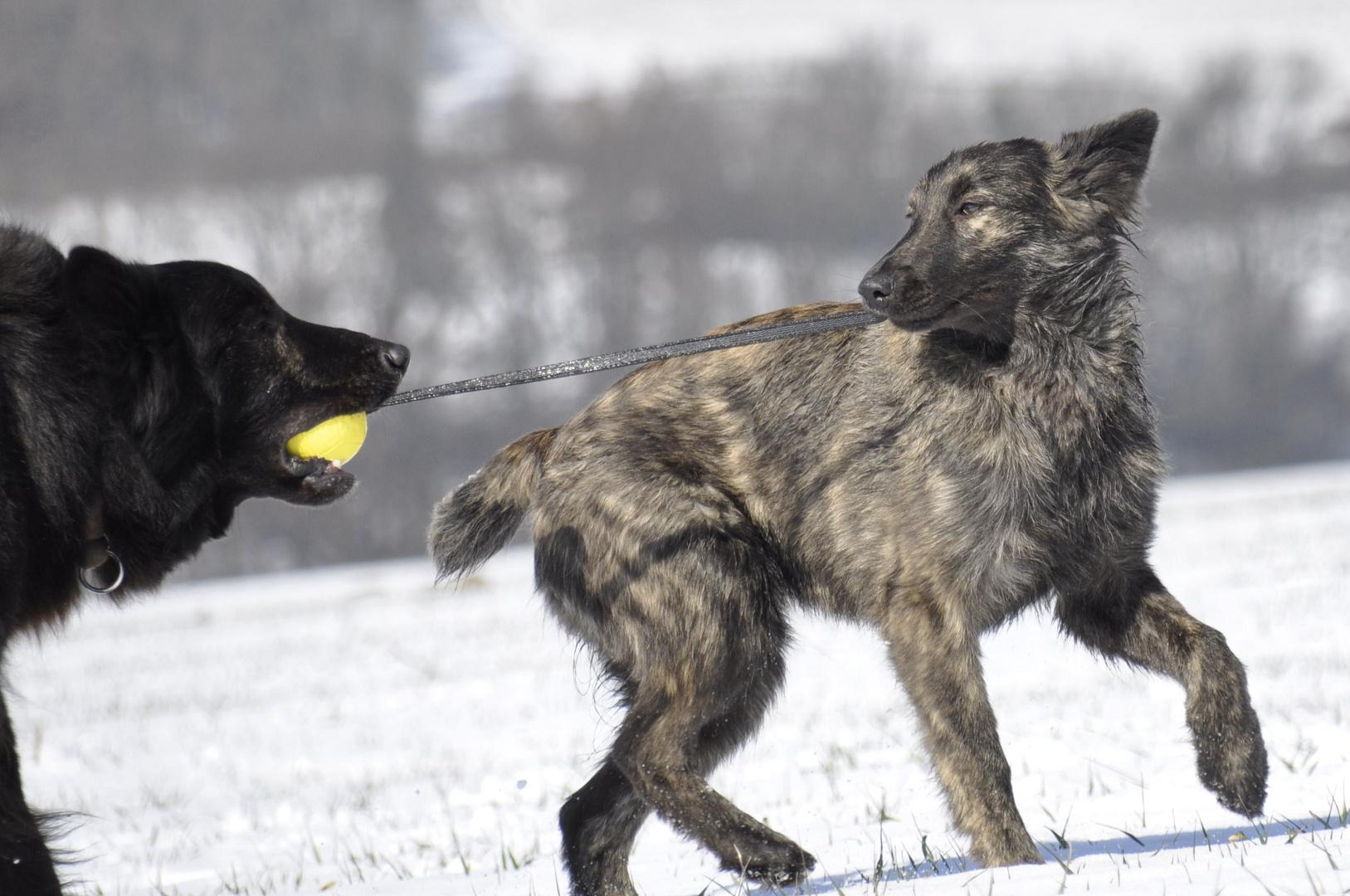 Holländischer Schäferhund Langhaar Familie