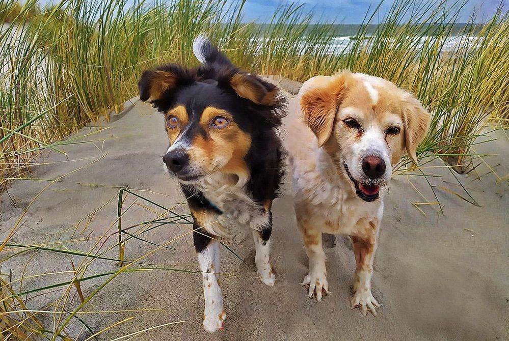 HOLLAND  - Mit den Hunden am Strand -