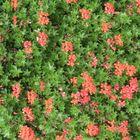 Hollands Blumenpracht (2)